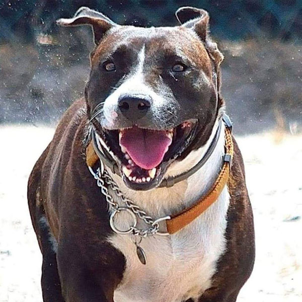 Pit Pals Pitbull Rescued Dog